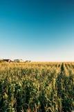 Groene het Gebiedsaanplanting van het Maïsgraan in de Zomer Landbouwseizoen Royalty-vrije Stock Foto's