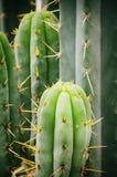 Groene het Groeien Cactus Royalty-vrije Stock Foto's