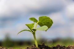 Groene het Groeien spruit op een land Royalty-vrije Stock Foto's