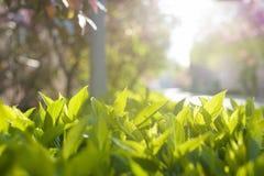 Groene het planten ` s bladeren in de stralen van de zon Royalty-vrije Stock Foto