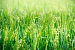 Groene het zaad blauwe hemel van het graspadieveld Stock Afbeelding