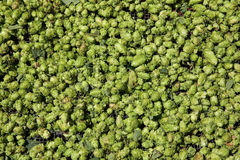 Groene hop Royalty-vrije Stock Foto