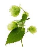 Groene hop die op de witte achtergrond wordt geïsoleerd Stock Foto's