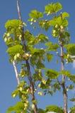 Groene hop op een blauwe hemel Stock Foto's