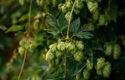 Groene hopkegels Grondstoffen voor bierproductie Stock Fotografie