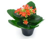 Groene houseplants met rode bloemen stock foto