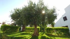 Groene huistuin met grote vruchtbare olijfboom stock video