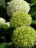 Groene Hydrangea hortensia Stock Foto's