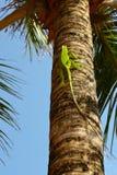 Groene Iaguana Stock Afbeelding
