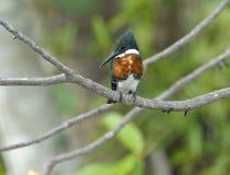 Groene Ijsvogel (americana Chloroceryle) Royalty-vrije Stock Fotografie