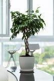 Groene ingemaakte installatie, boom in de pot op lijst tegen het venster Boom in een pot die zich op glanzende zwarte lijst bij m Royalty-vrije Stock Afbeeldingen