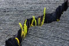 Groene installatie het groeien in een barst in droge lava Stock Foto's