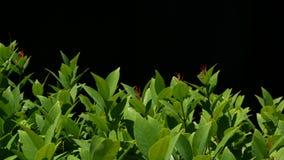 Groene installatie het groeien op aanplanting Installatie met groene bladeren die op aanplanting tegen zwarte achtergrond groeien stock video