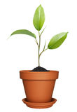 Groene installatie het groeien in pot Stock Afbeelding