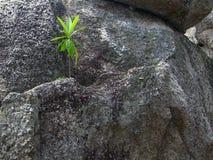 Groene installatie in het midden van rotsen Stock Foto