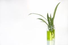 Groene installatie in laboratorium Stock Foto