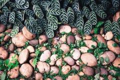 Groene installatie met bladeren die door de kiezelstenensteen groeien met c Stock Afbeeldingen