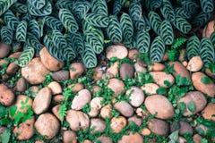 Groene installatie met bladeren die door de kiezelstenensteen groeien met c Royalty-vrije Stock Fotografie