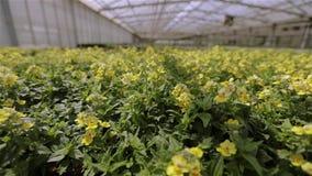 Groene installatie met gele bloemen Het kweken van bloemen op industri?le schaal stock videobeelden