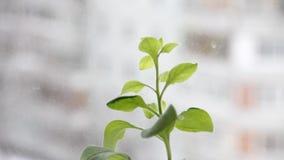 Groene installatie op een vensterachtergrond stock videobeelden