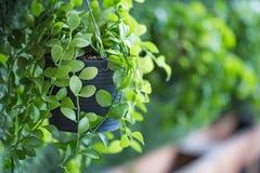 Groene installatie in pot royalty-vrije stock afbeeldingen