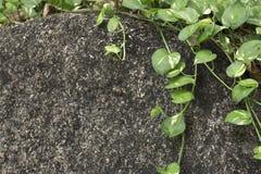 Groene installatie Scindapsus op grijze steen Stock Afbeeldingen