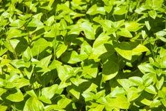 Groene installaties als achtergrond Stock Afbeelding