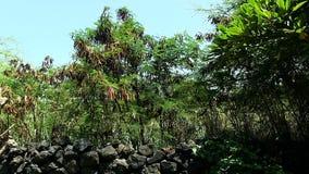 Groene Installaties die boven Zwart Lava Rock Wall slingeren stock video