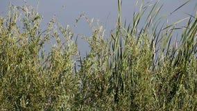 Groene Installaties die met Gray Pond Water Background slingeren stock videobeelden