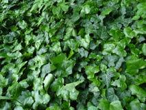 Groene Ivy Covering een grond royalty-vrije stock afbeelding