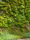 Groene Ivy Covering Wall stock afbeelding