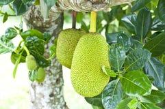Groene jackfruit Royalty-vrije Stock Afbeelding