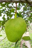 Groene jackfruit Royalty-vrije Stock Foto's