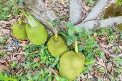 Groene jackfruit Royalty-vrije Stock Afbeeldingen