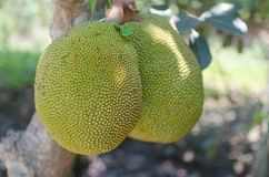 Jackfruit. Stock Foto's