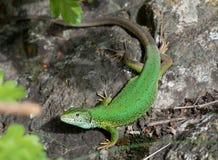 Groene jager stock foto