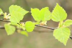 Groene Jonge Bladeren Royalty-vrije Stock Afbeelding