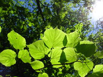 Groene jonge bladeren op de zon Stock Foto