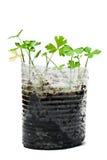 Groene jonge installaties in een kop die op wit wordt geïsoleerd Royalty-vrije Stock Afbeeldingen