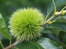 Groene jonge kastanje op boom stock foto's