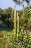Groene jonge pijnboomtakken in het zonlichtbereik voor de hemel Achtergrond stock foto's