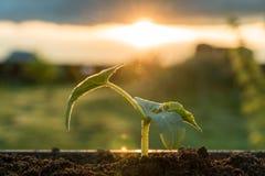 Groene jonge spruit op een grond, natuurlijke zonsondergang, Royalty-vrije Stock Foto's