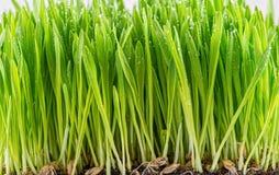 Groene jonge tarwespruit stock foto