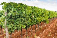 Groene jonge wijnstok op wijngaard Royalty-vrije Stock Foto