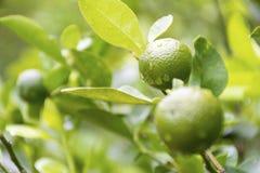 Groene kalk die op een boom in de tuin en waterdalingen na regen hangen Royalty-vrije Stock Foto