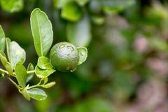 Groene kalk die op een boom in de tuin en waterdalingen na regen hangen Stock Afbeeldingen