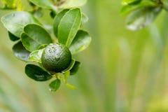 Groene kalk die op een boom in de tuin en waterdalingen na regen hangen Royalty-vrije Stock Fotografie