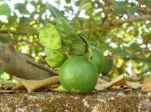 Groene kalk met bladeren op boom Royalty-vrije Stock Afbeelding