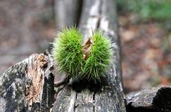 Groene kastanje op de boom Stock Fotografie