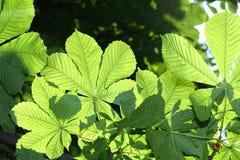 Groene kastanjebladeren Royalty-vrije Stock Foto's